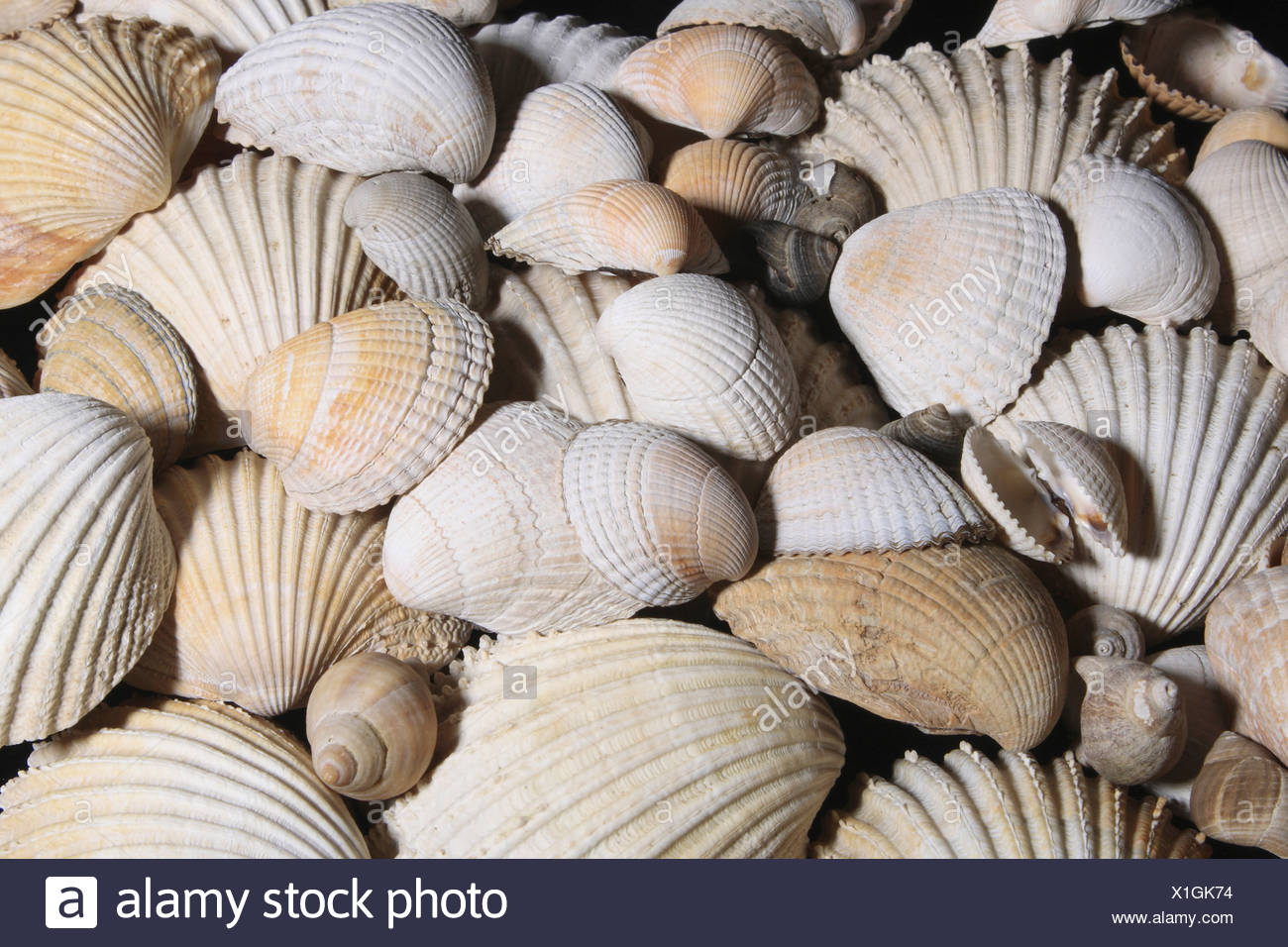 Jumble of modern Brachipod shells on beach. - Stock Image