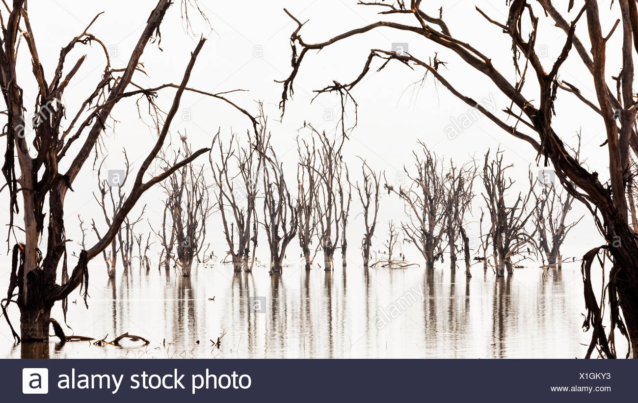 Lake Nakuru, Kenya. The dead trees on Lake shores were killed by the rising of the alcaline waters of the lake in 2014. - Stock Image