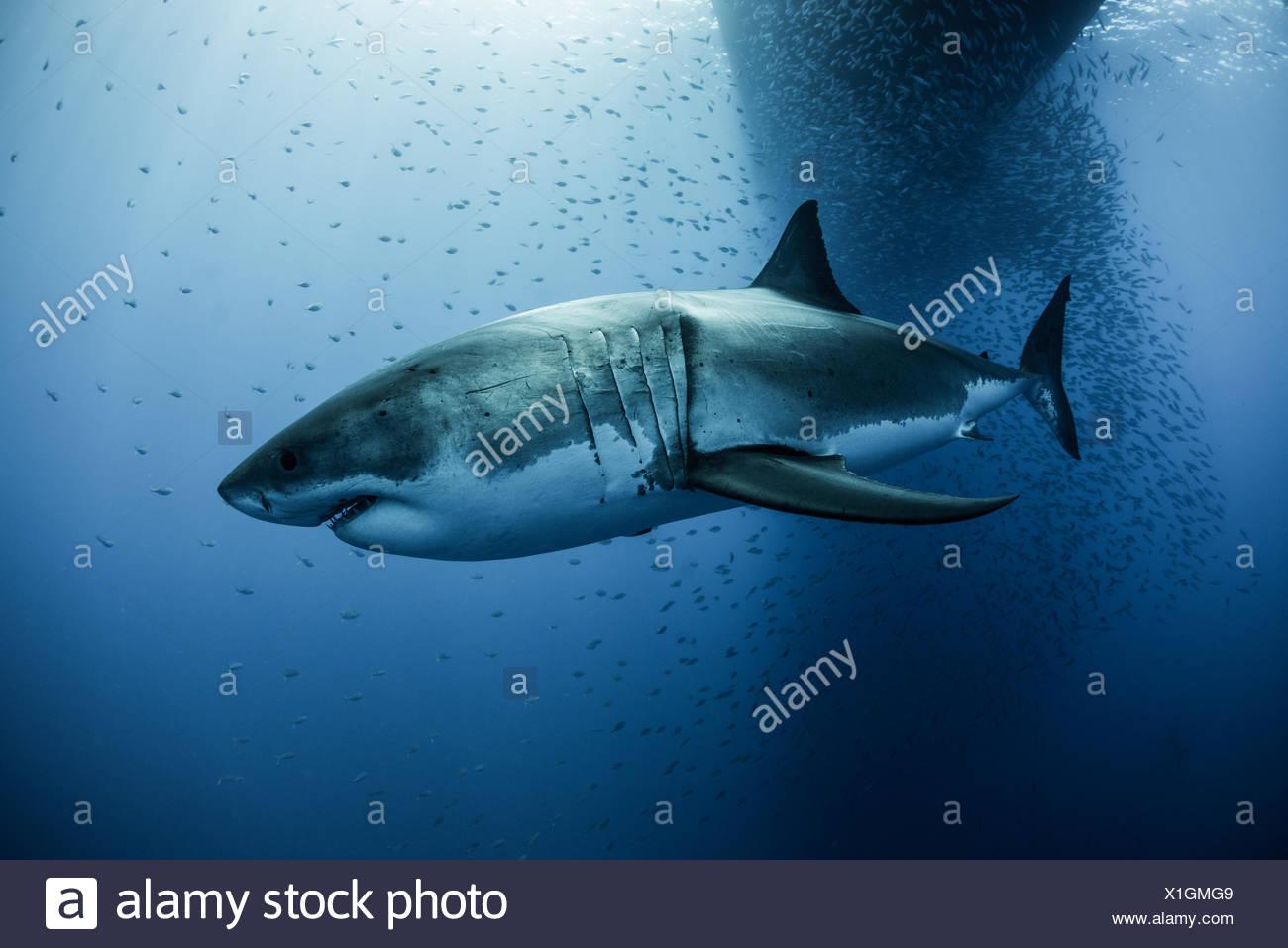 great white shark carcharodon megalodon swimming under