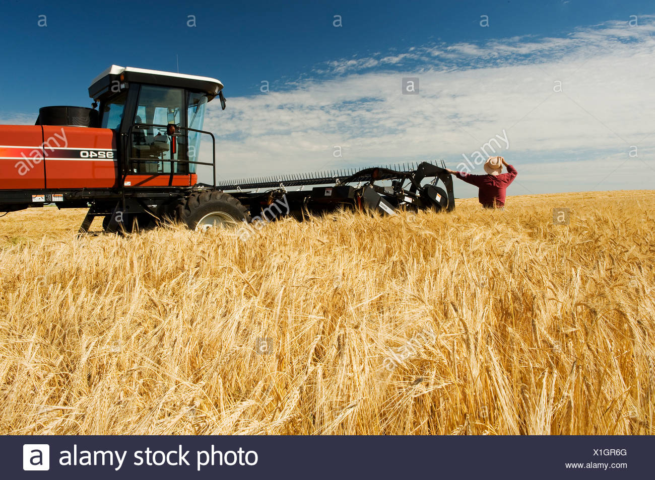 a man views harvest ready barley being swathed neat Treherne, Manitoba, Canada - Stock Image