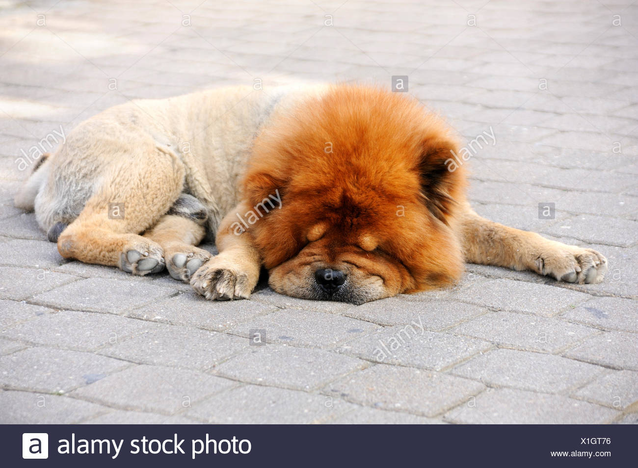 Clipped Chow-Chow sleeping on a pavement, in hot weather Stock Photo