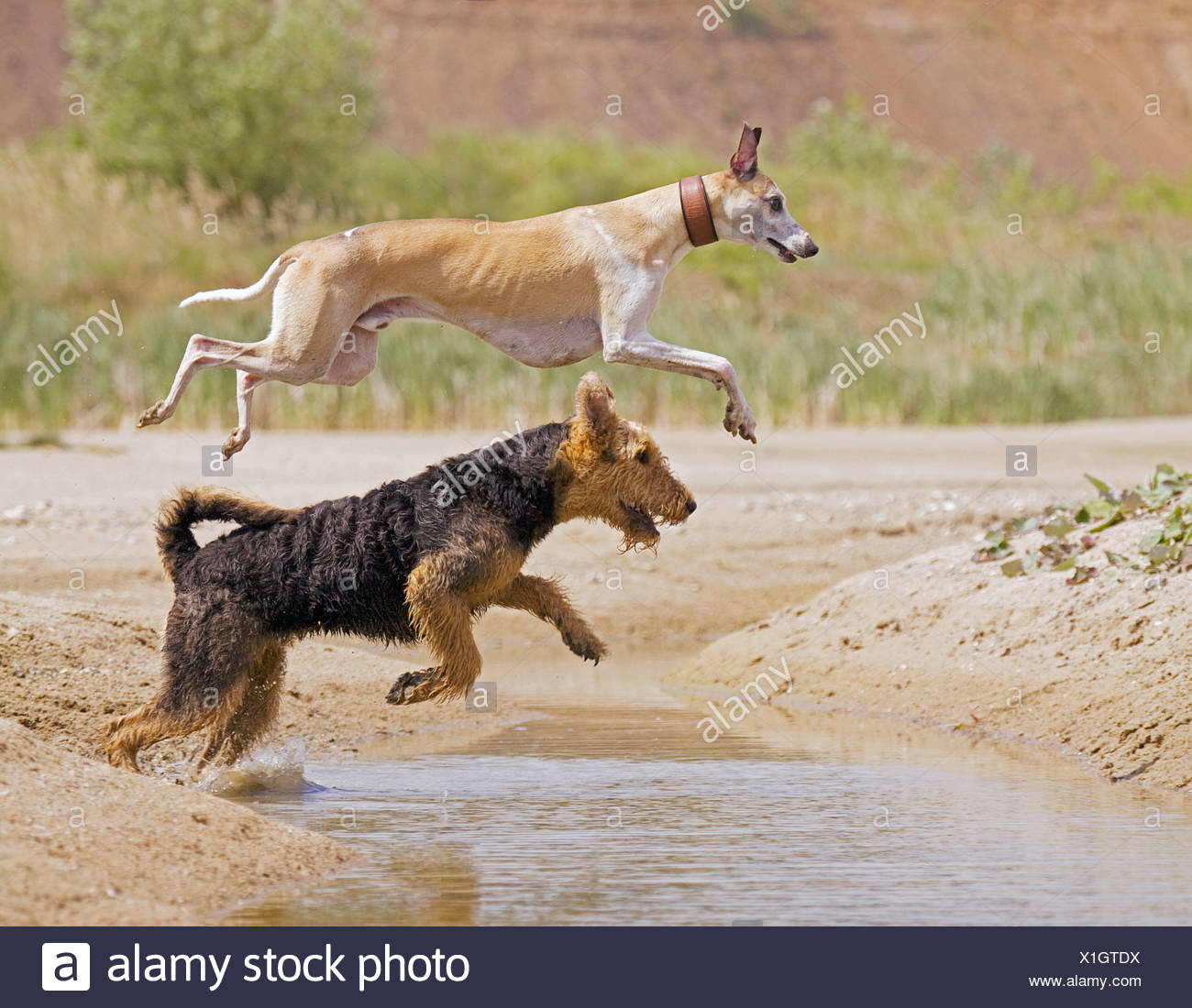 Airedale Terrier Whippet dog jumping over water Stock Photo
