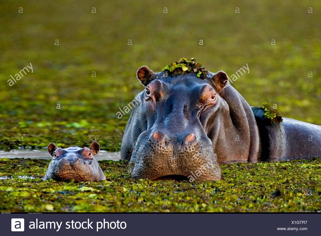 Mother and baby hippo Okavango Delta Botswana - Stock Image
