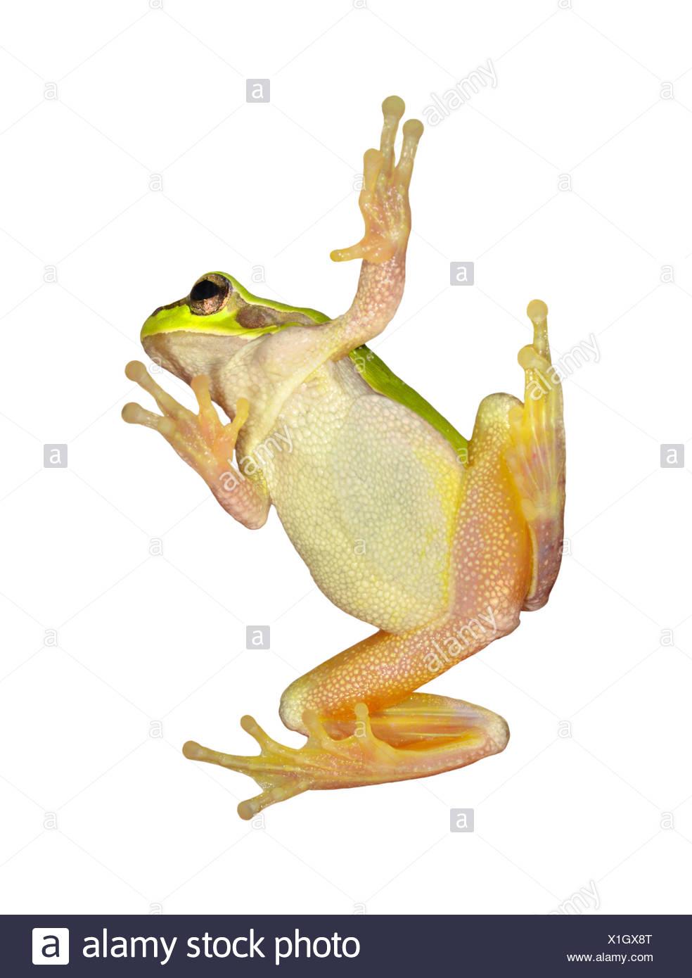 European Tree Frog - Hyla arborea Stock Photo
