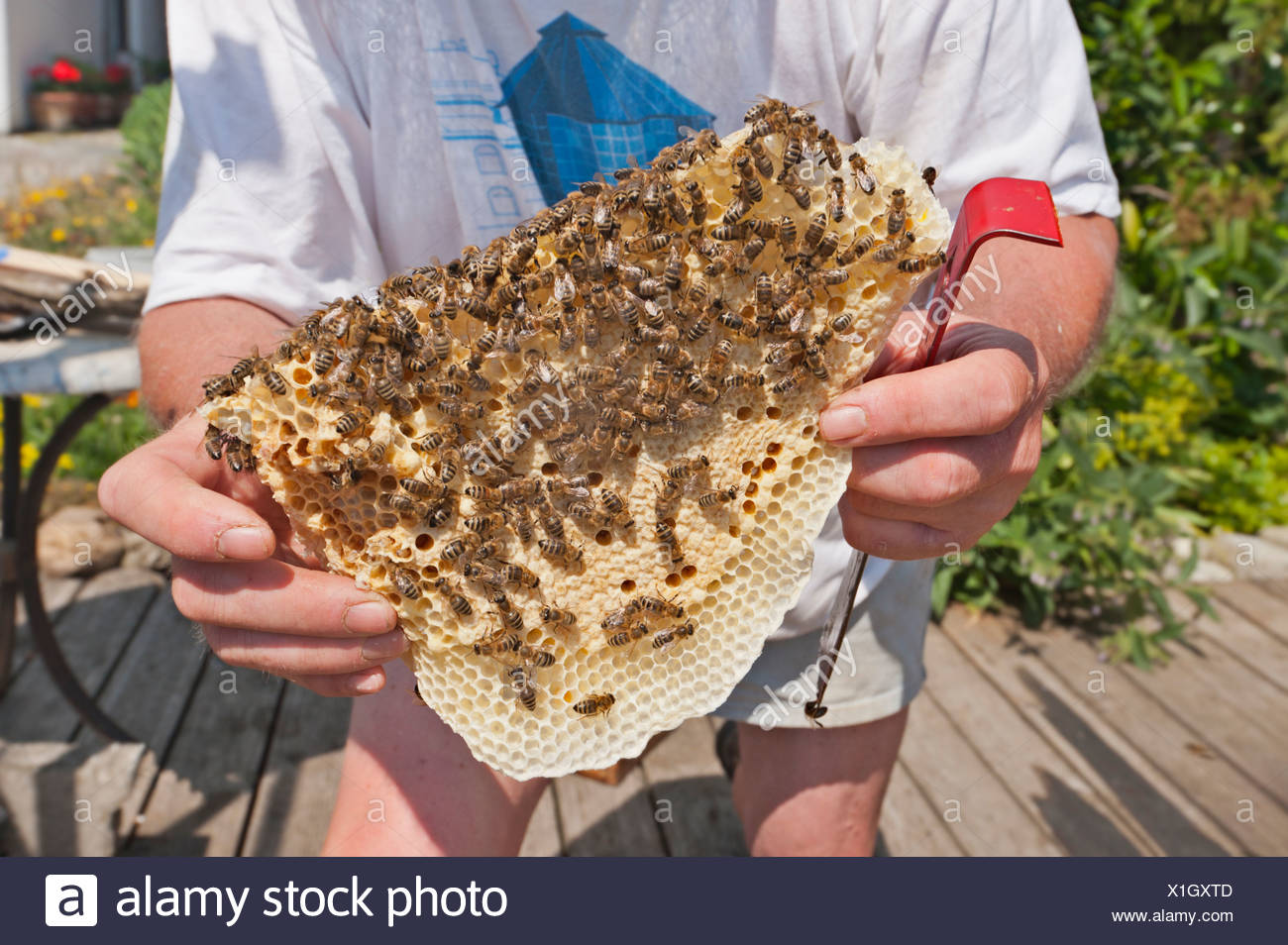 Germany, Beekeeper holding honeycomb of wild bees - Stock Image