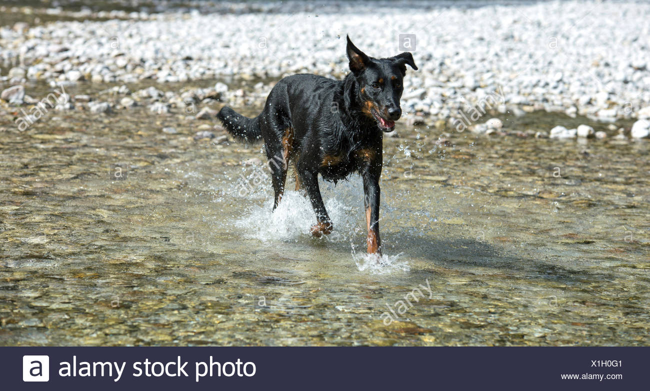 Dog (Canis familiaris) running in water, Beauceron, also Berger de Beauce or Bas Rouge - Stock Image