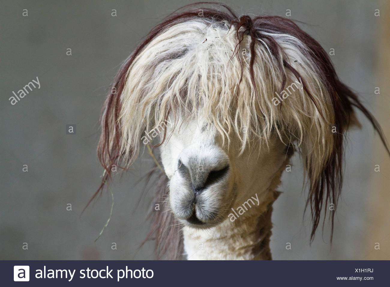 Lama pacos, alpaca with funny hairstyle in a zoo, Andes, South America, America Stock Photo