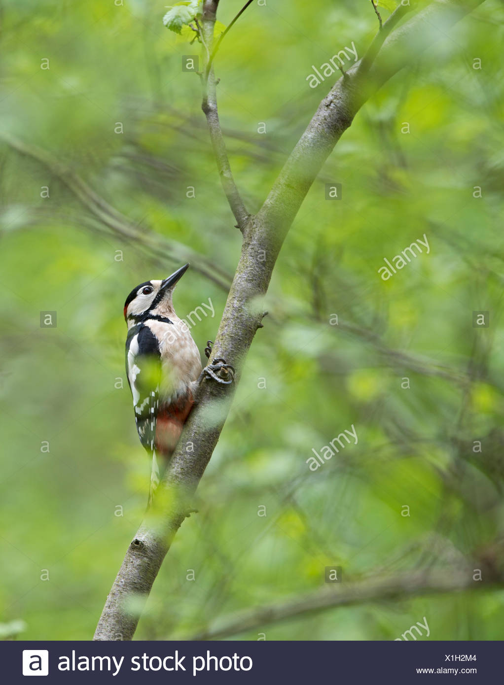Great spotted Woodpecker in woodland Norfolk spring - Stock Image
