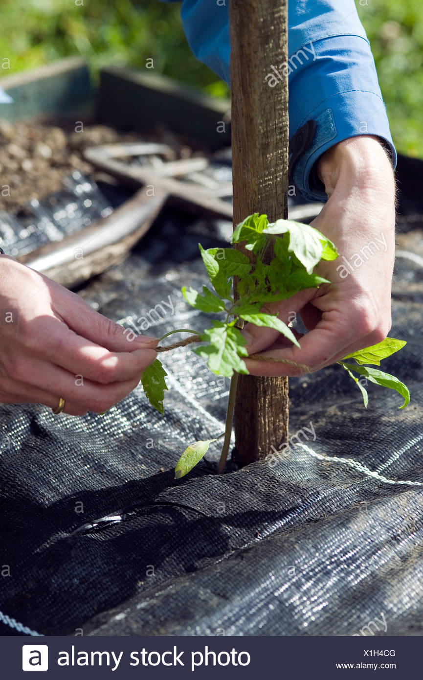 Person tying tomato plant seedling to wooden support above mulch sheet Stock Photo