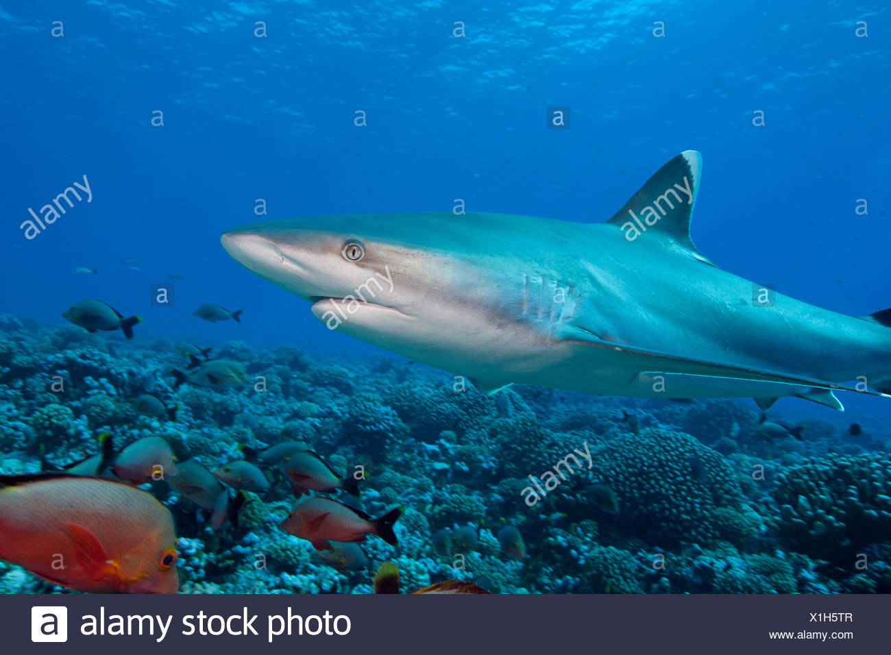 Graceful lines of a Silvertip shark (Carcharhinus albimarginatus) swimming above a coral reef in Rangiroa. - Stock Image