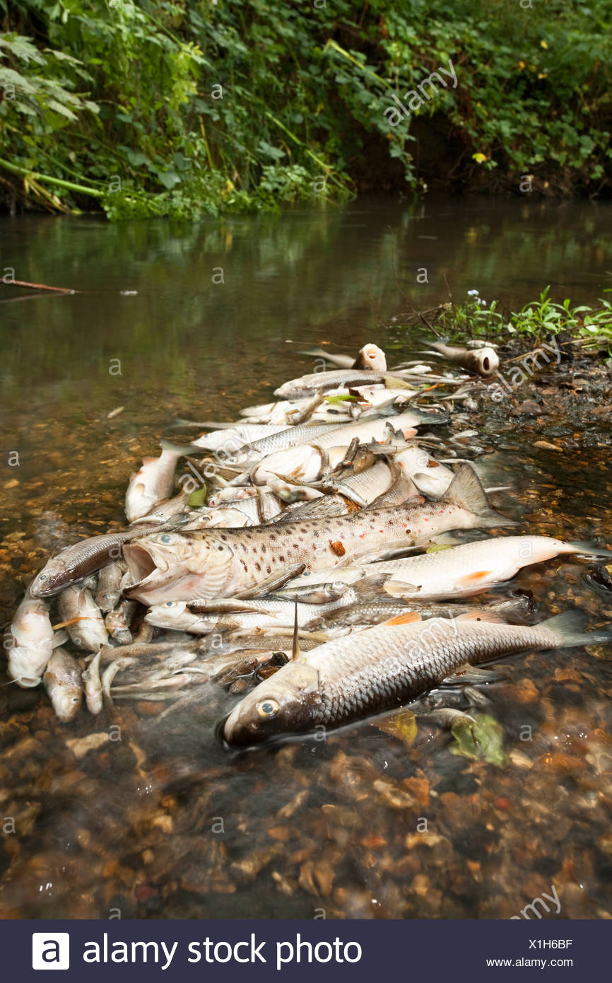 Dead fish on the Silchester Brook in Hampshire, Uk following the pollution by sewage released by a water treatment works - Stock Image