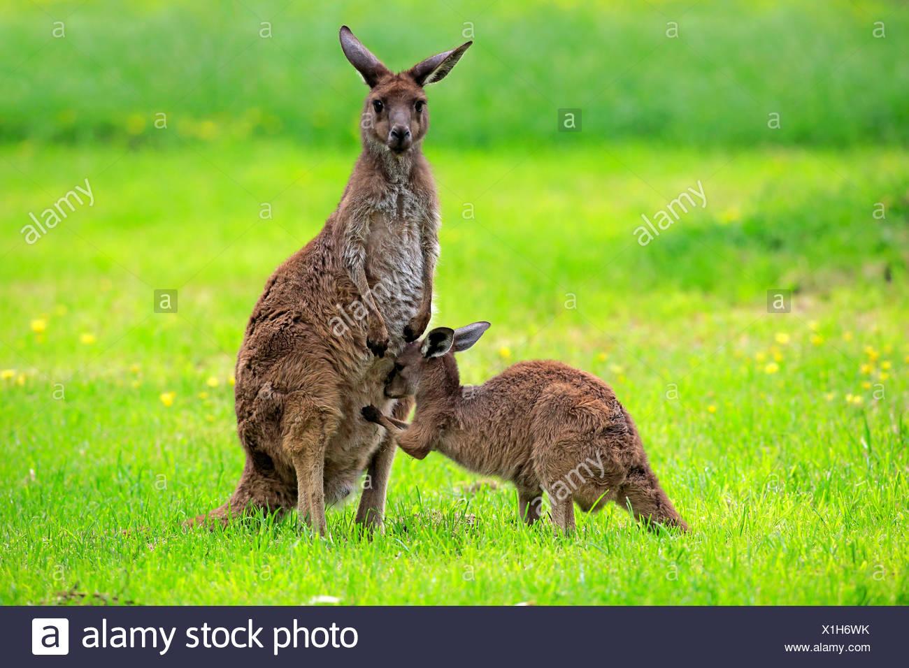 Kangaroo Island Kangaroo, female with young, South Australia, Australia / (Macropus fuliginosus fuliginosus) - Stock Image