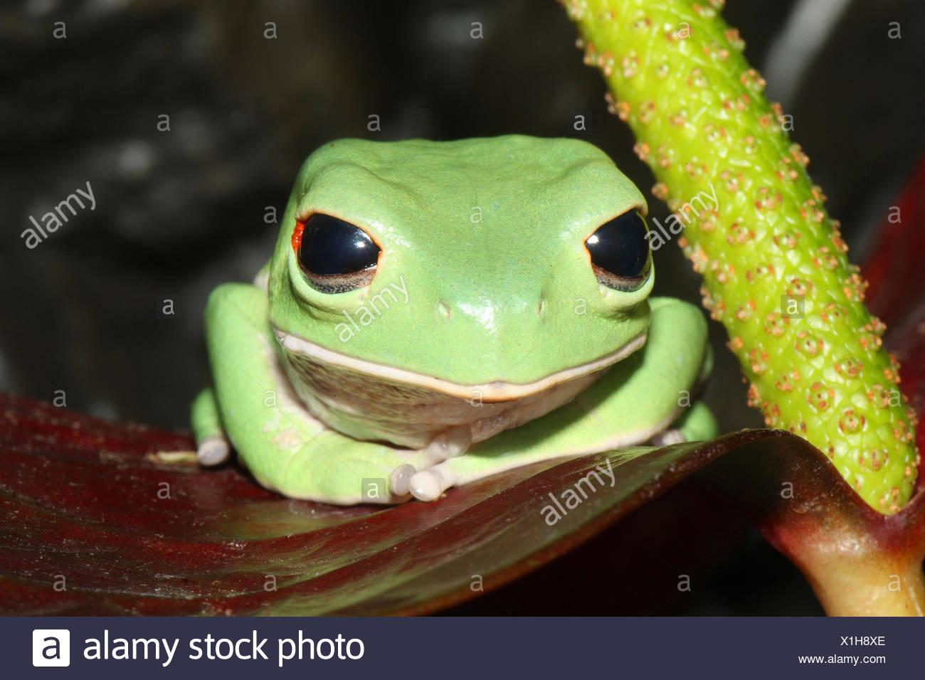 Bolivian leaf frog, Phyllomedusa boliviana, blossom, sit, - Stock Image