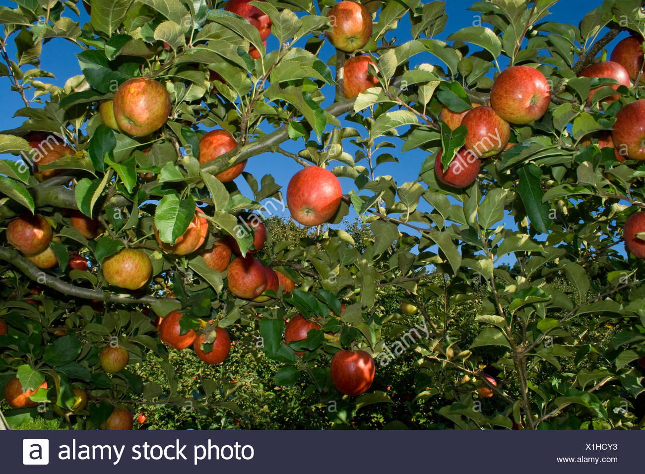 Agriculture - Mature, harvest ready Jonagold apples on the tree / Fortuna, California, USA. - Stock Image