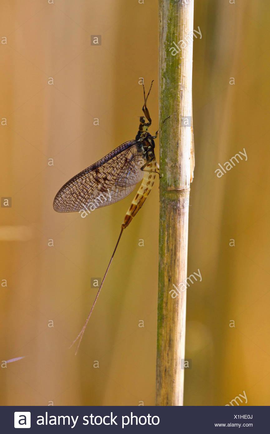 mayfly (Ephemera spec.), sitting at reed, Germany, Bavaria, Lake Chiemsee - Stock Image