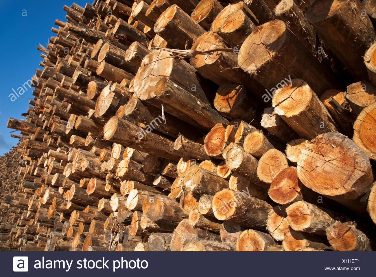Agriculture - Harvested Eucalyptus logs at a pulp mill, exported for the paper industry / Uruguay. - Stock Image