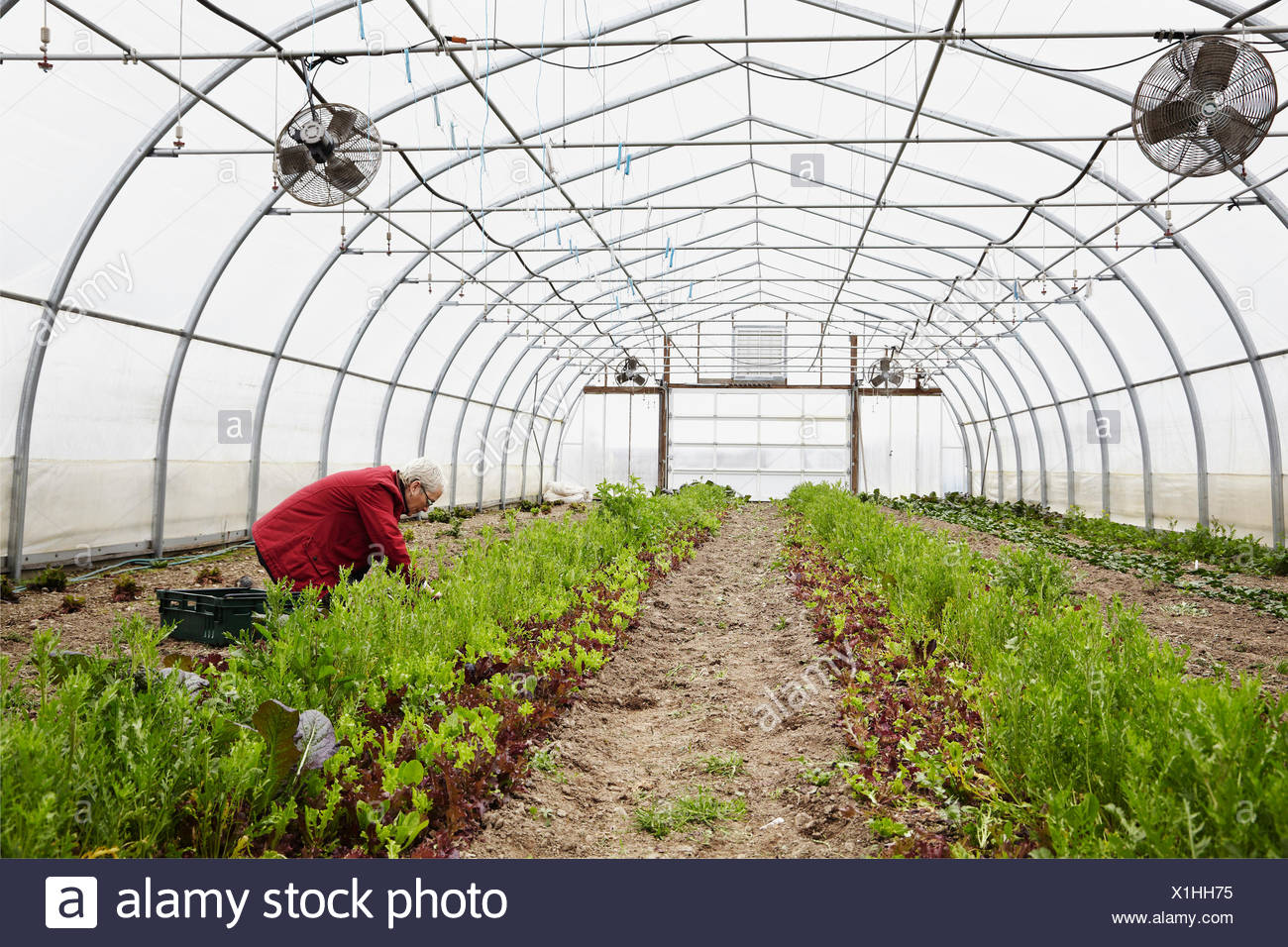 A large commercial horticultural polytunnel with fans in the ceiling, and plants growing in the soil. A woman working. - Stock Image