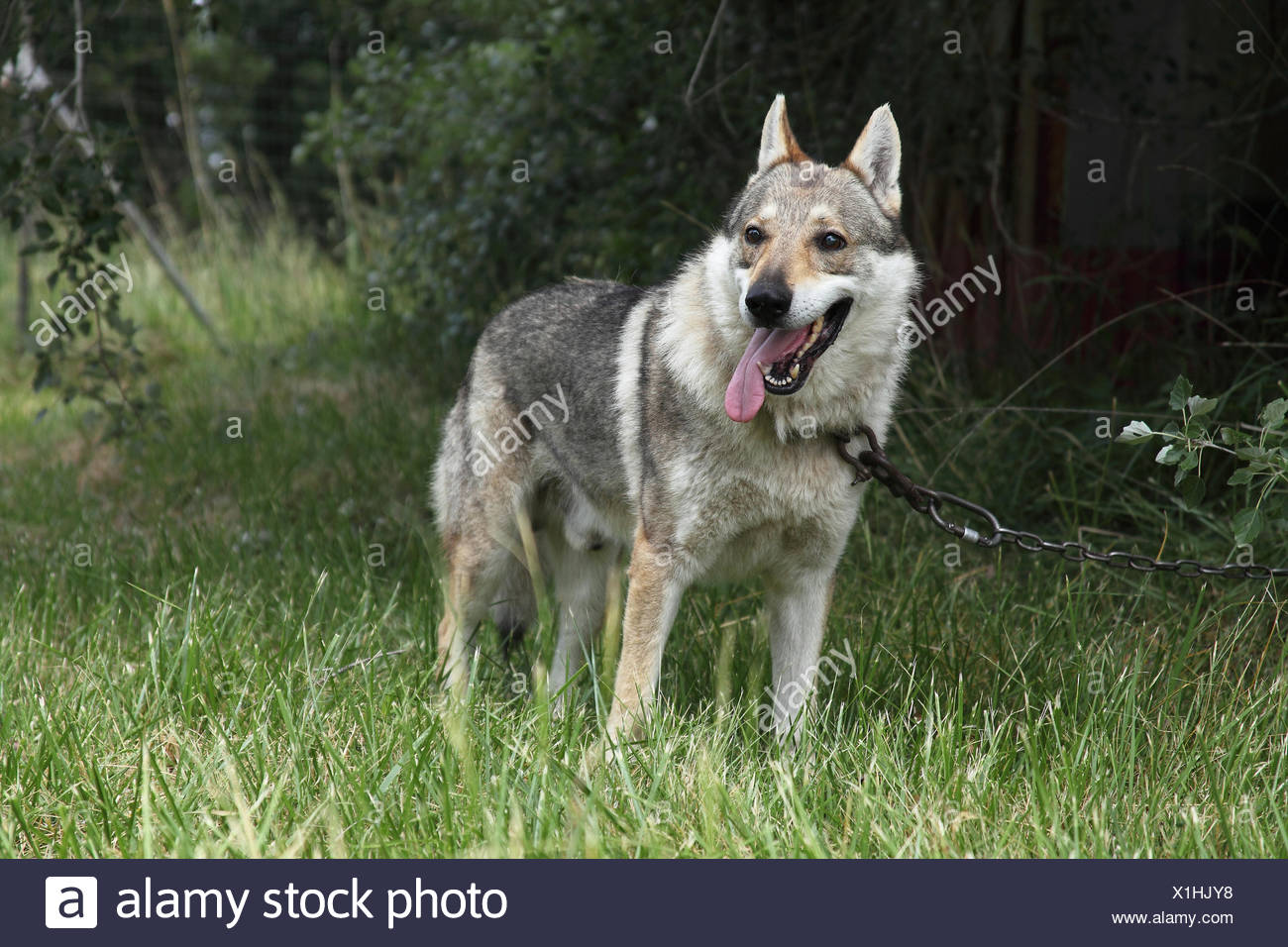 Czechoslovakian wolfdog attached to a chain - Stock Image