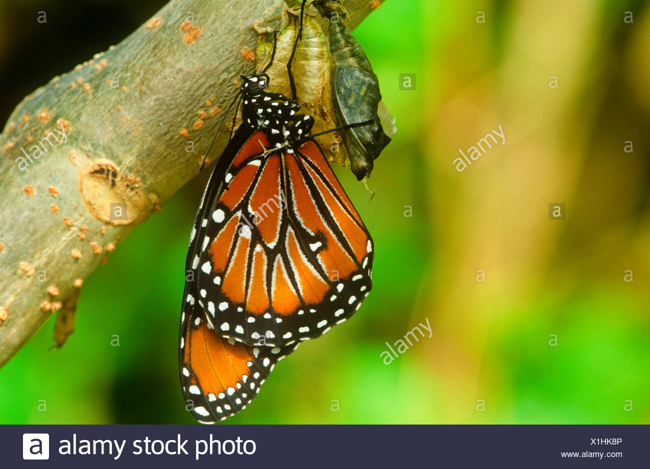 Queen Butterfly (Danaus gilippus thersippus)  emerging pupal case Resident in extreme southern United States south through - Stock Image