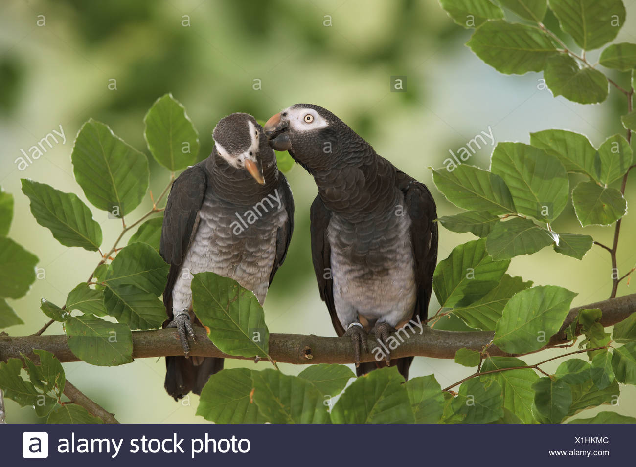 two Timneh African Grey parrots on branch / Psittacus erithacus timneh - Stock Image