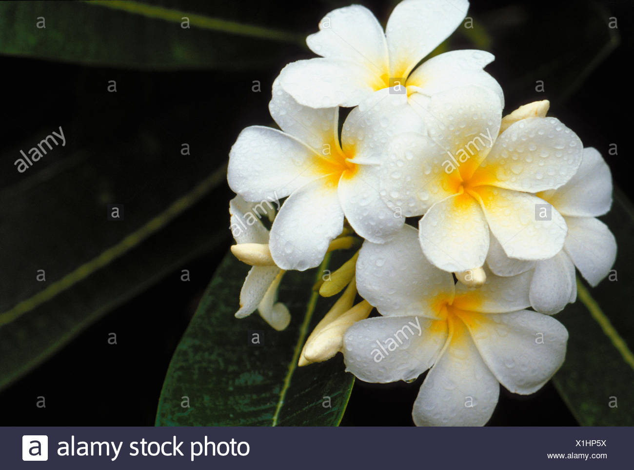 Hawaii White Plumeria Flowers Cluster Stock Photos Hawaii White