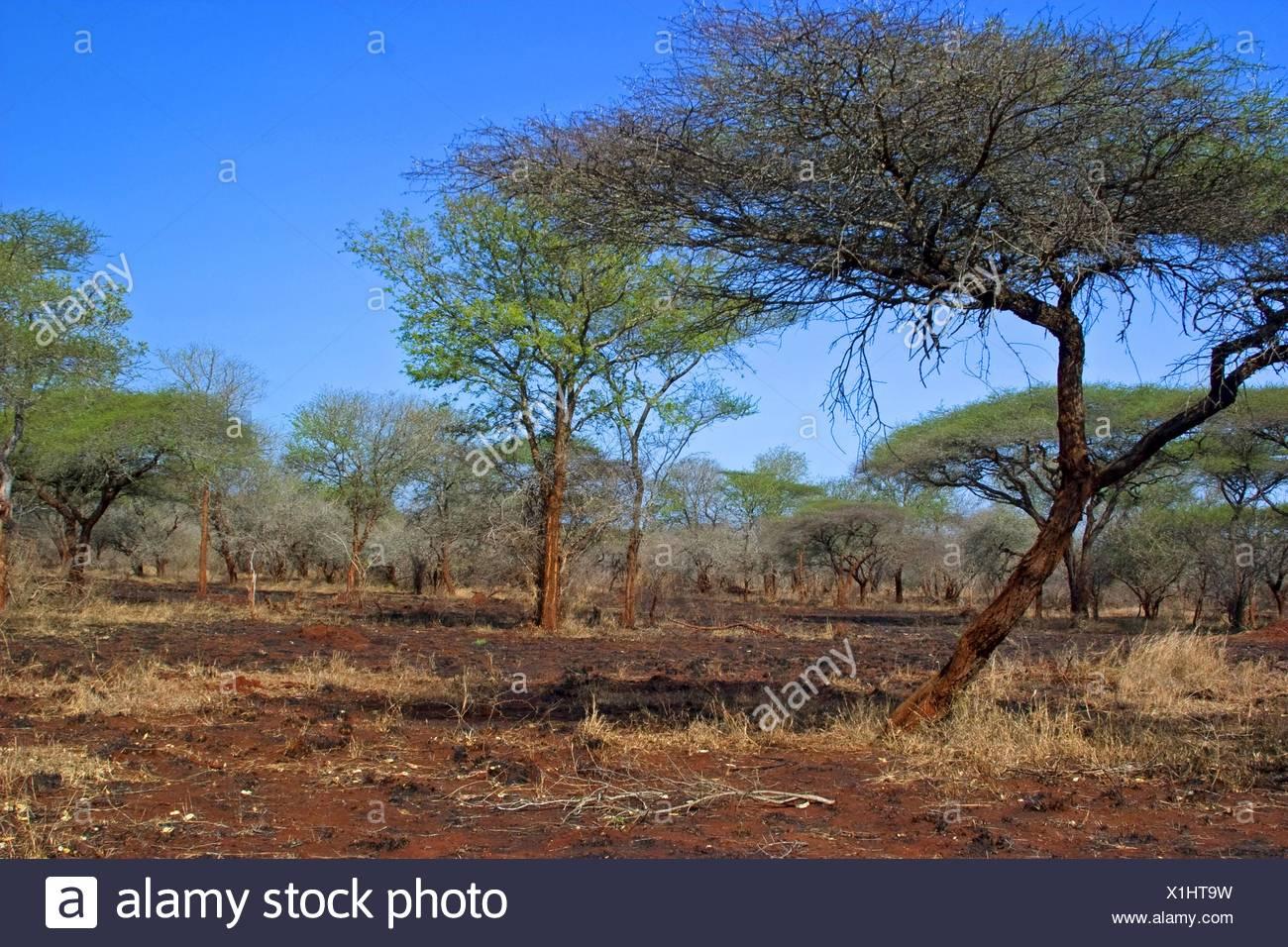 Burned Acacia bushveld, South Africa, Kwazulu-Natal, Ndumo Game Reserve - Stock Image