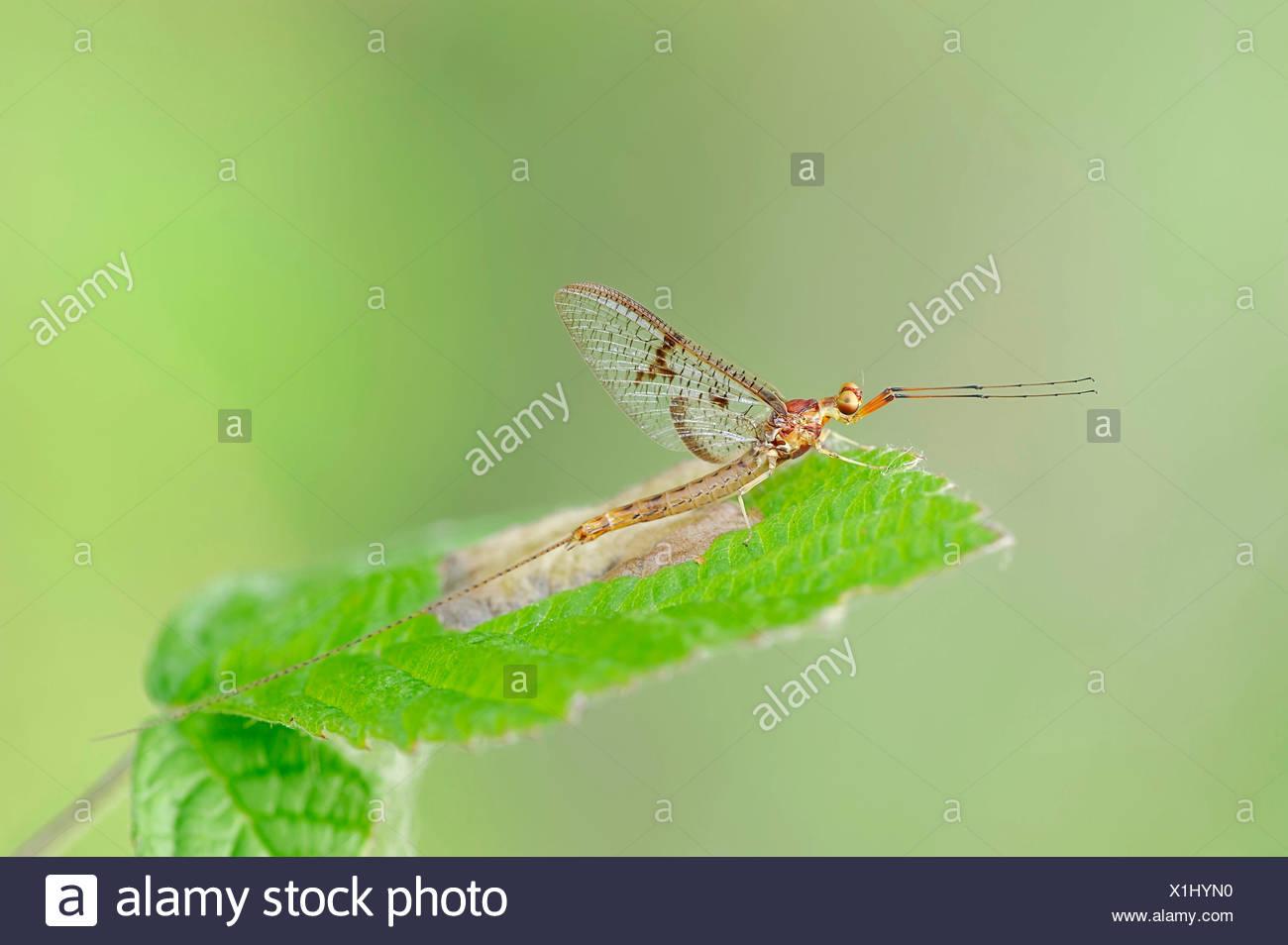 Mayfly (Ephemera lineata), male, North Rhine-Westphalia, Germany - Stock Image