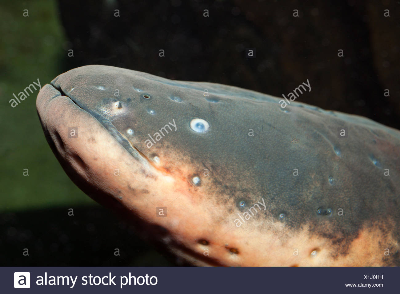 Electric Eel Stock Photos Amp Electric Eel Stock Images Alamy