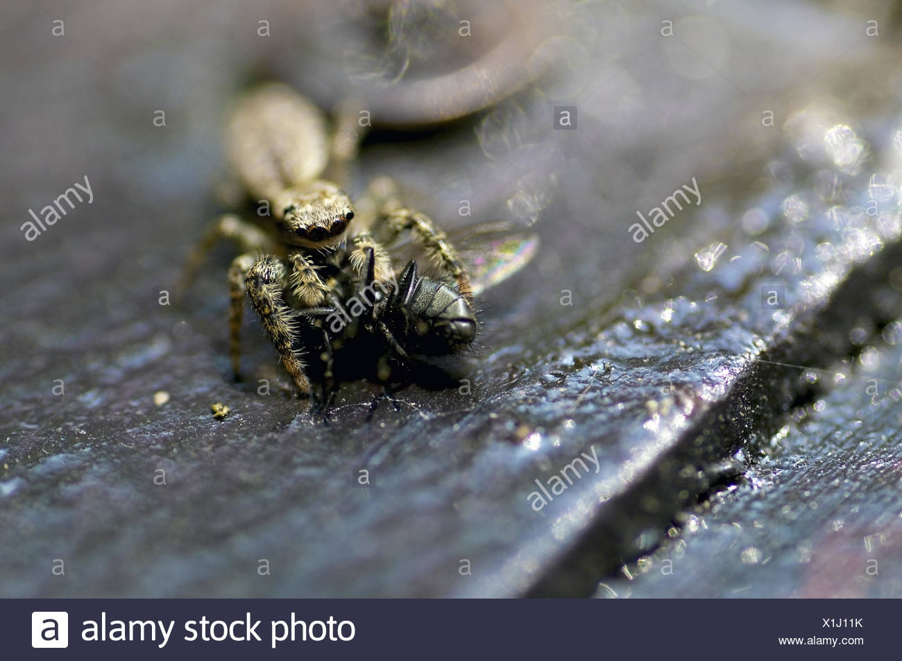 Wolf Spider with Fly - Stock Image