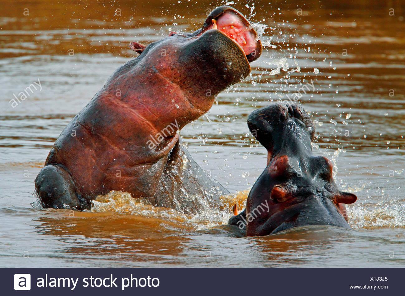 hippopotamus, hippo, Common hippopotamus (Hippopotamus amphibius), two fighting hippos in water, Kenya, Masai Mara National Park - Stock Image