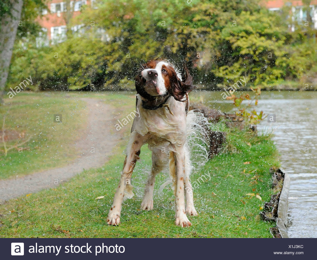 A red and white setter dog shaking himself Stock Photo