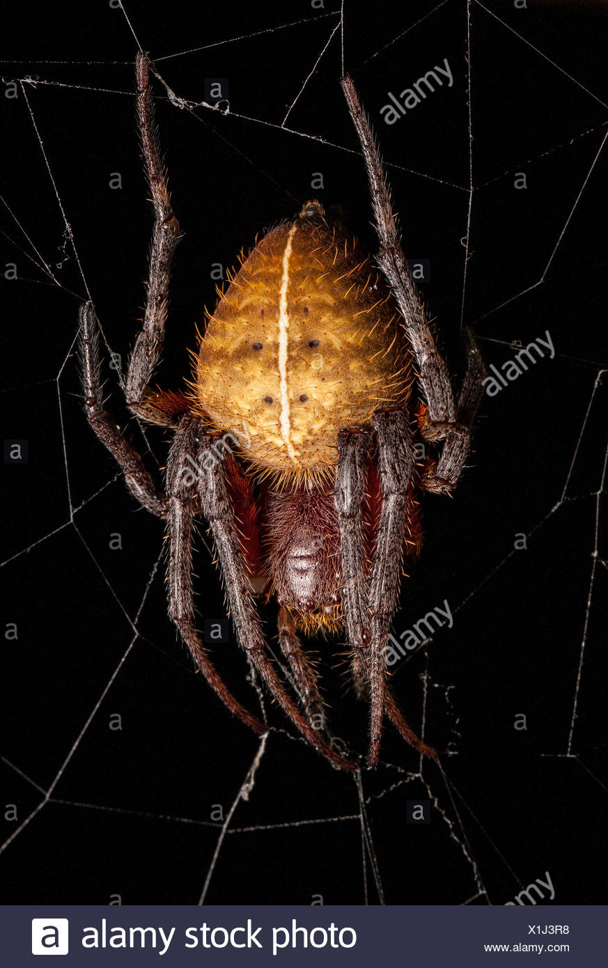 Portrait of a spider in its web. - Stock Image
