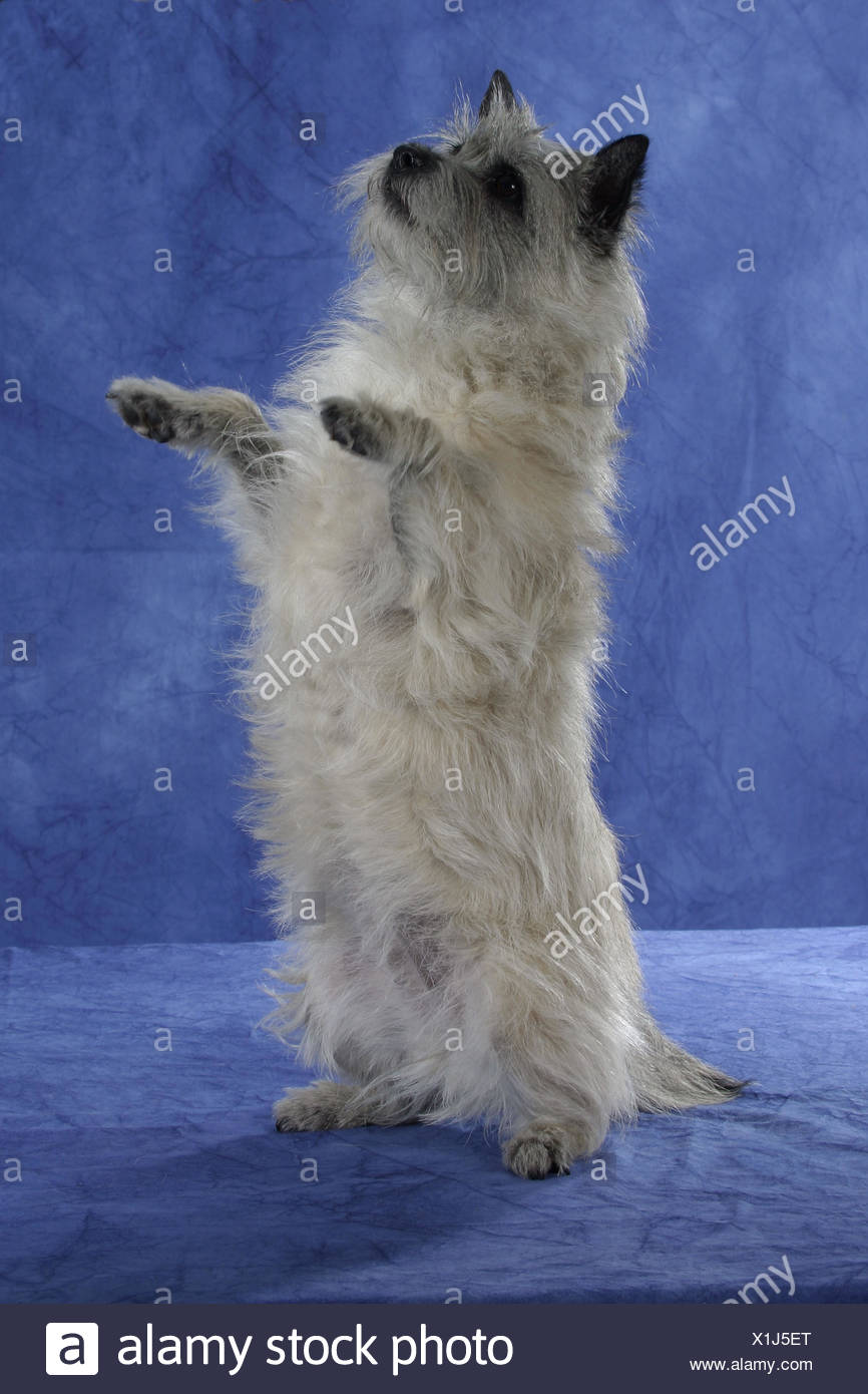 Cairn Terrier Stock Photo
