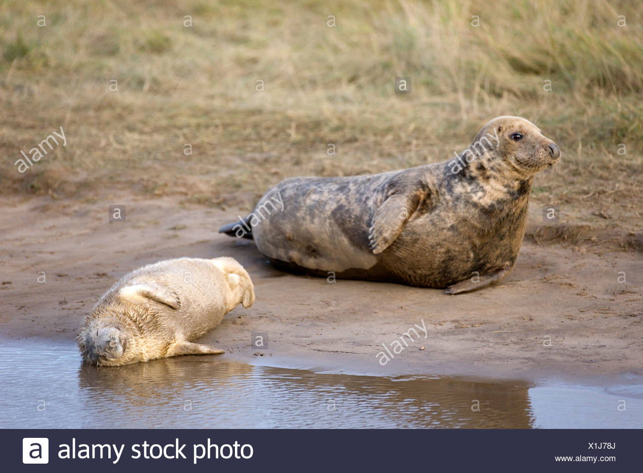 Gray Seal (Halichoerus Grypus), Donna Nook, Lincolnshire, England; Seal And Seal Pup Resting On The Ground - Stock Image