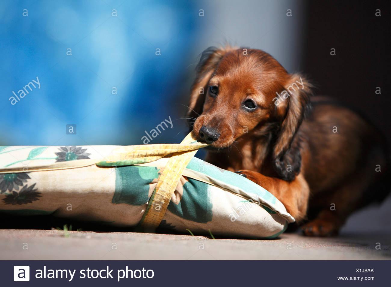 Wire Haired Dachshund Puppy Stock Photos & Wire Haired Dachshund ...