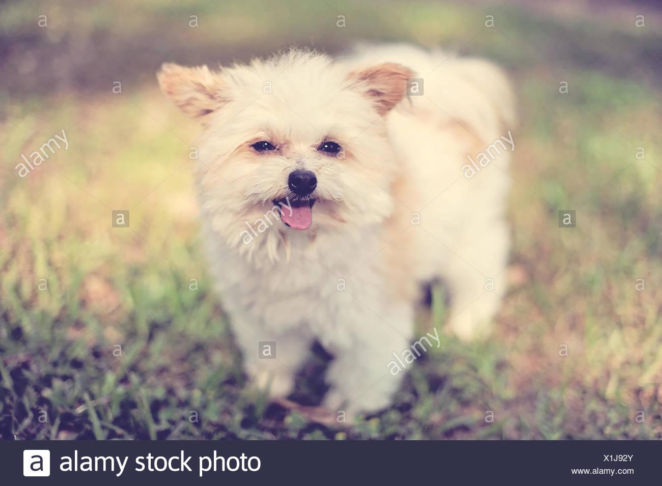 Fluffy dog in backyard - Stock Image