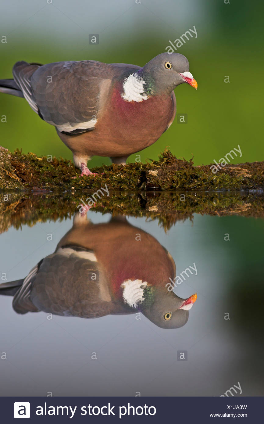 wood pigeon (Columba palumbus), standing on mossy dead wood at the edge of a quiet water, Germany, Rhineland-Palatinate - Stock Image