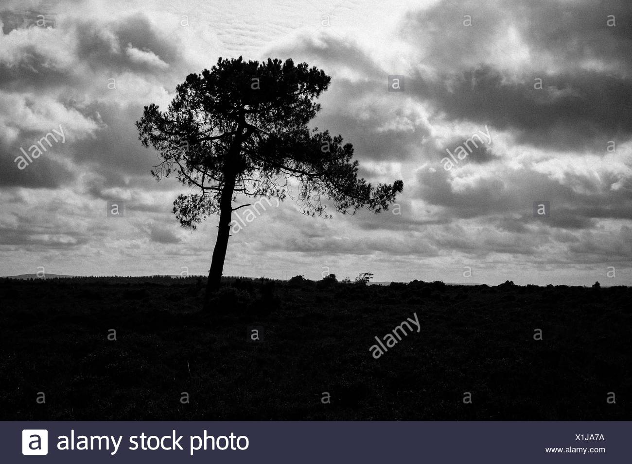 Lone Pine Tree Growing In Grassy Area - Stock Image