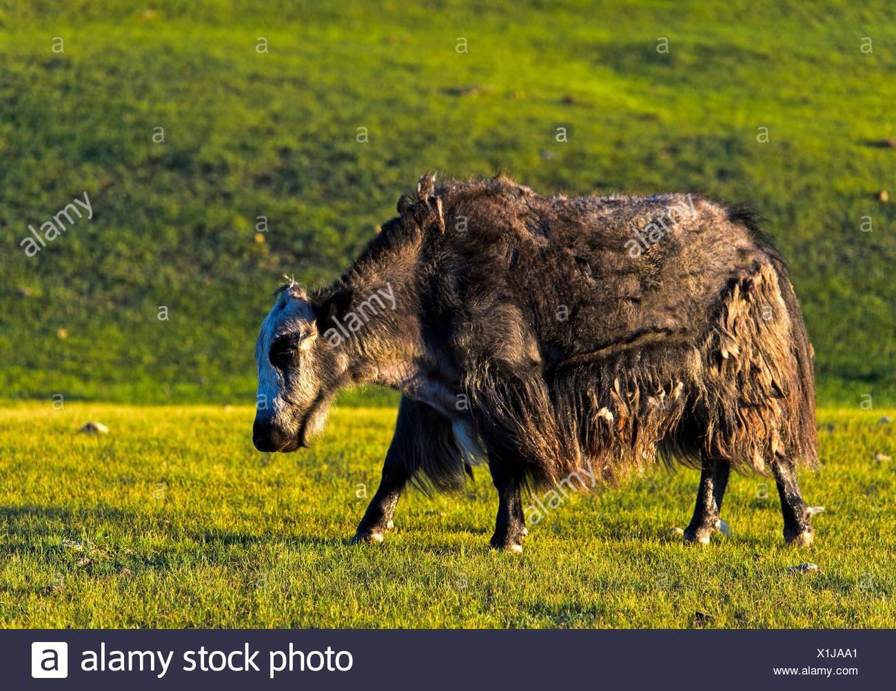 Mongolian Yak (Bos mutus), Orkhon Valley, Mongolia. - Stock Image