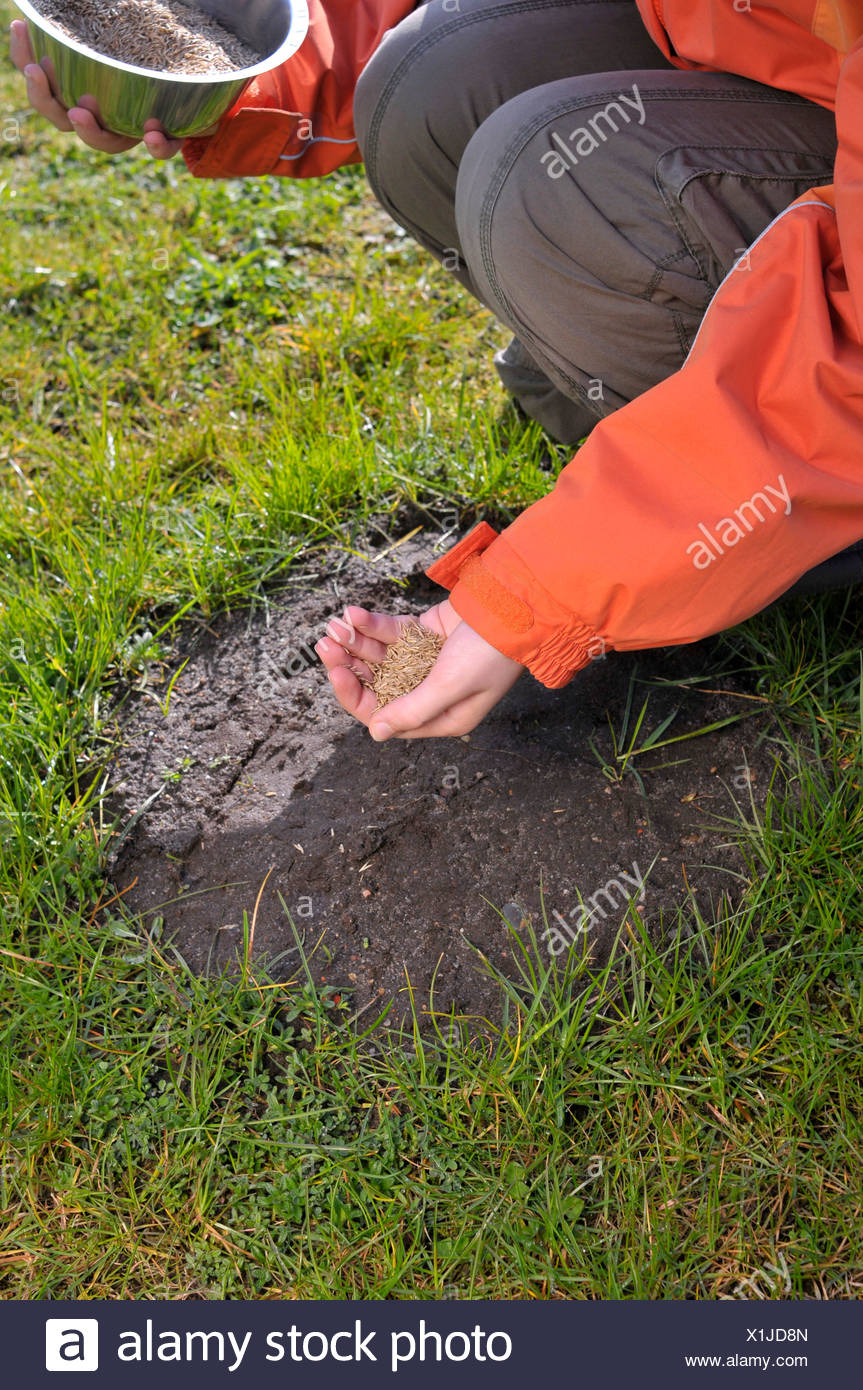 Grass seed being sown on bald patches in the lawn - Stock Image