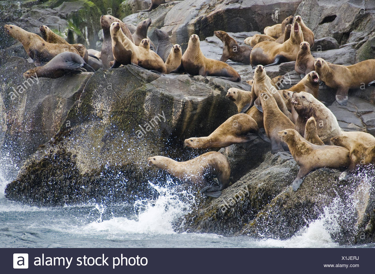 A group of Stellar sea lions congregate on a rocky outcrop. - Stock Image