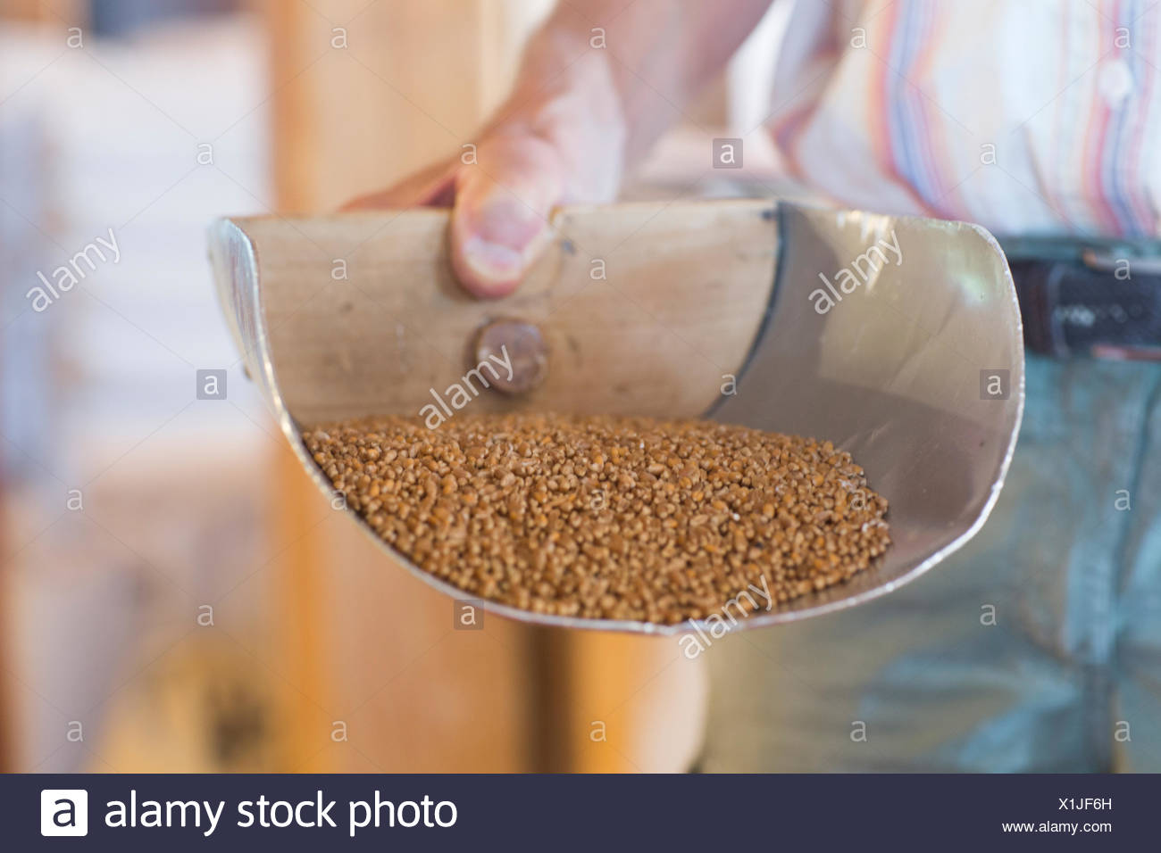 Close up of millers hand holding wholewheat grain scoop in wheat mill - Stock Image
