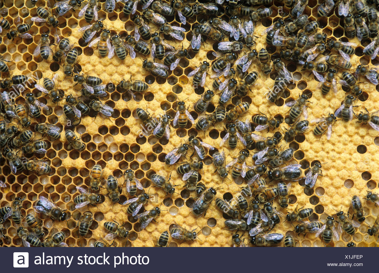 Worker honey bees Apis mellifera on brood cells in hive - Stock Image