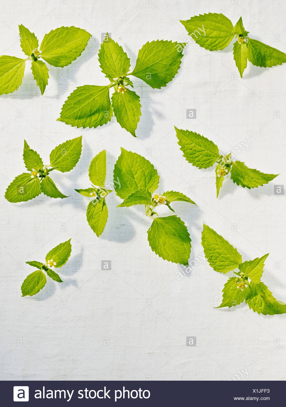 Galinsoga ciliata, leaves, green, - Stock Image
