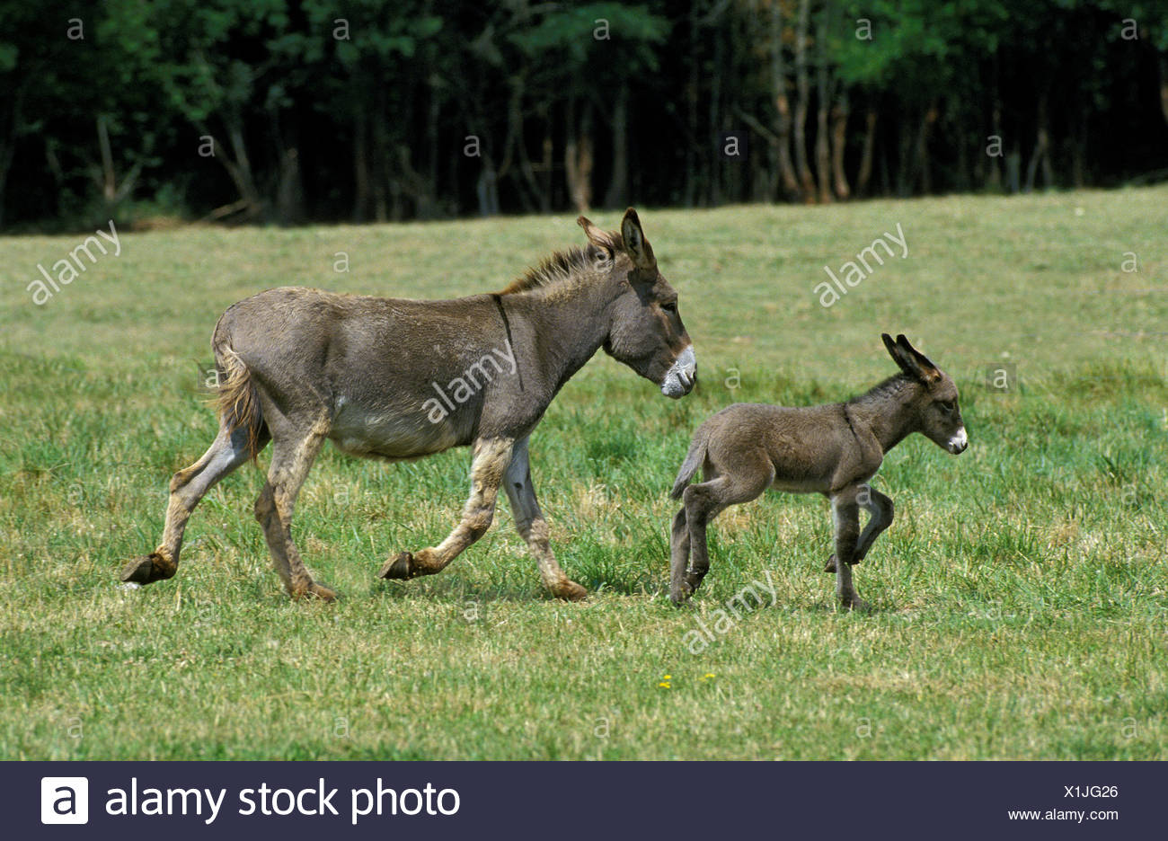 French Grey Donkey, Female with Foal Trotting Through Meadow - Stock Image