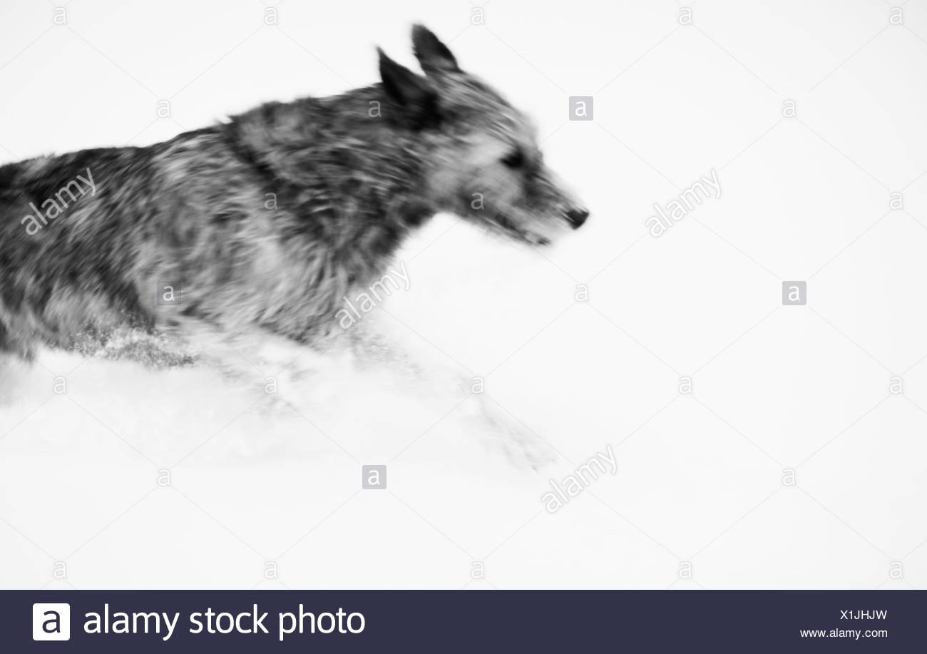 Dog running in snow - Stock Image