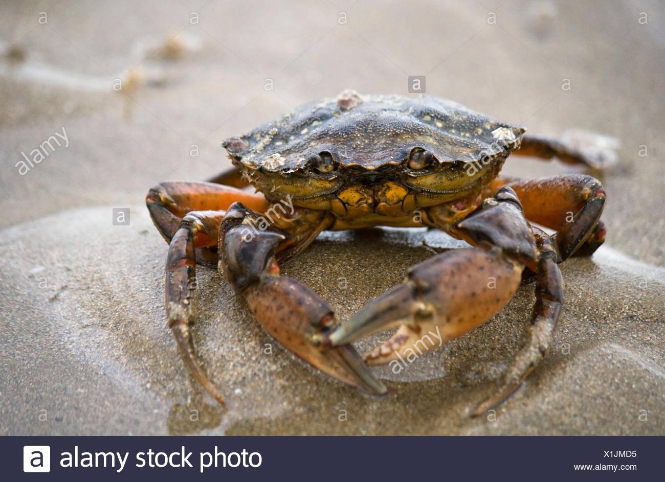 Green crab Stock Photo