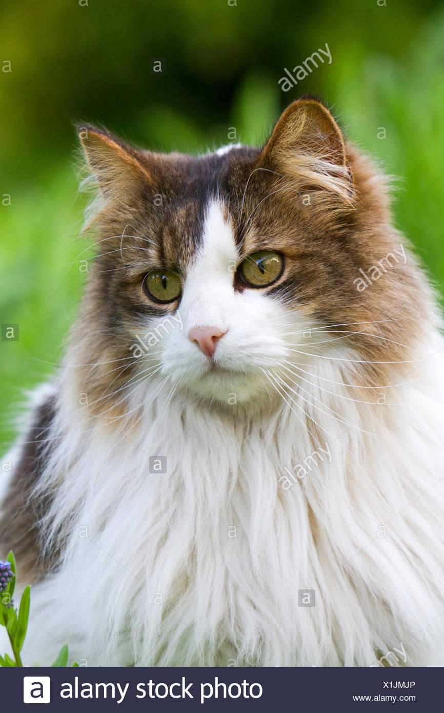 Long haired domestic cat portrait, France - Stock Image
