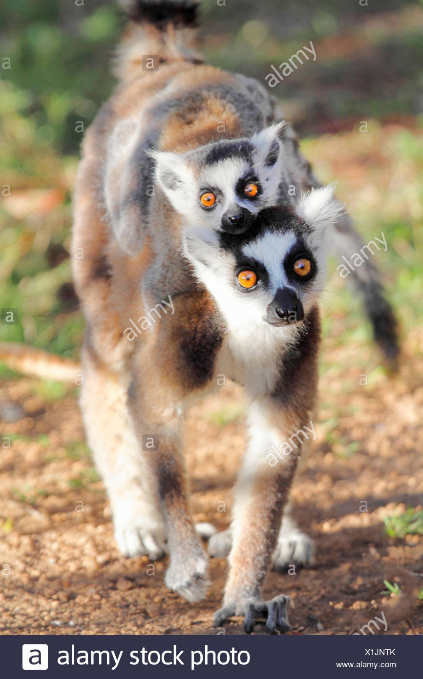 ring-tailed lemur (Lemur catta), mother is carrying the pup on the back, Madagascar, Andringitra National Park - Stock Image