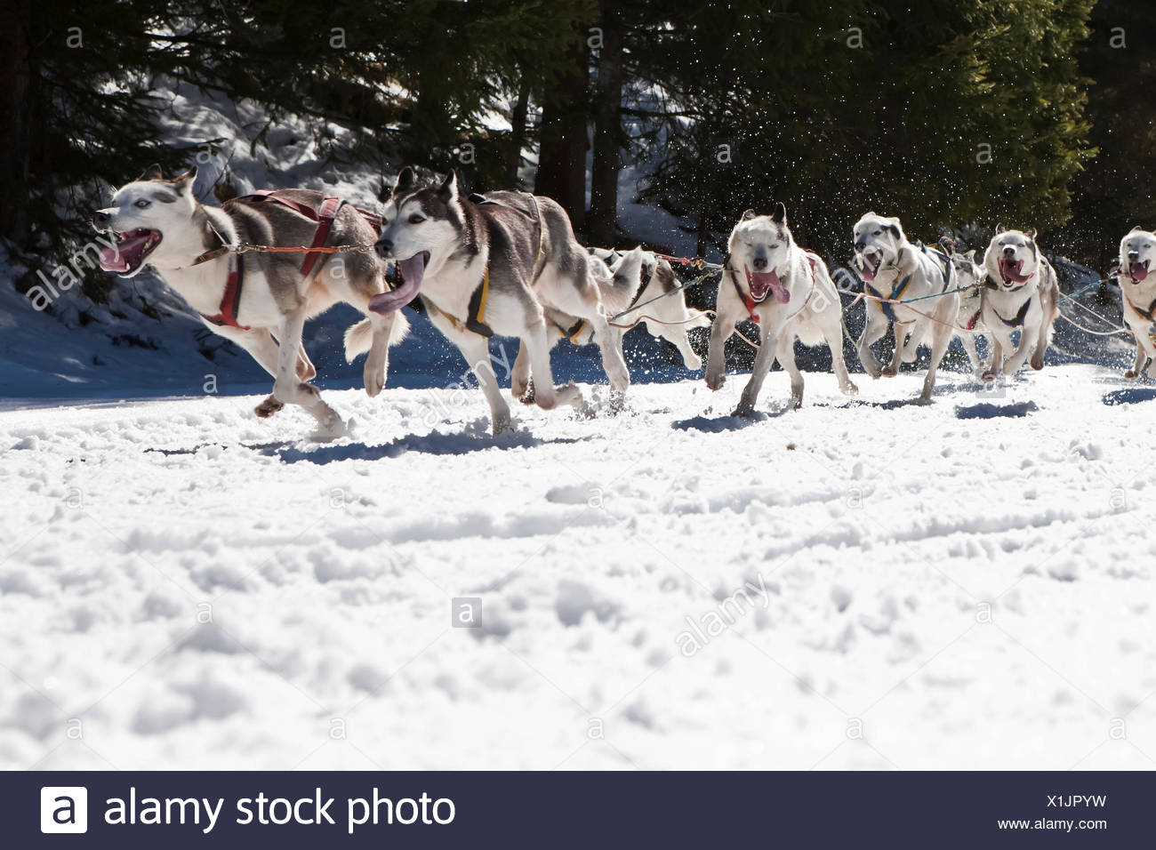 Dog sled or dog sledge, sledge dogs running through a forest, in winter Stock Photo